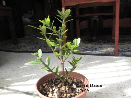 bonsai-ixora-2