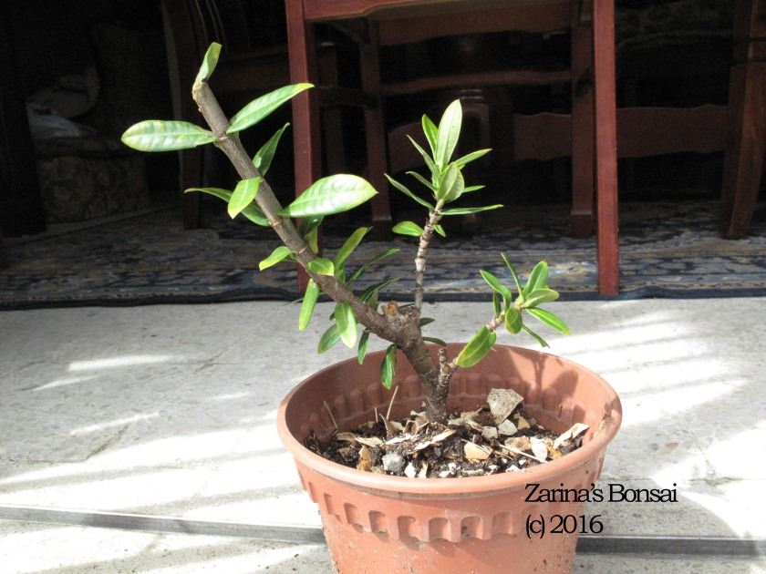 bonsai-ixora-3