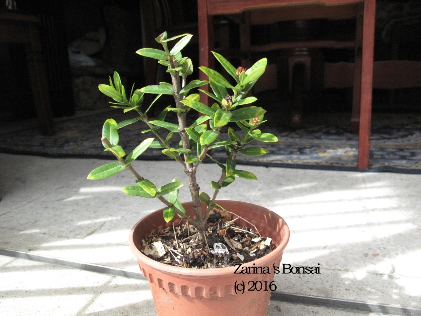 bonsai-ixora