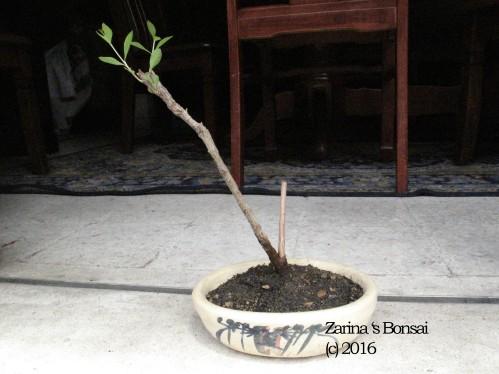 henna-bonsai-2